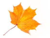 Hojas de arce del otoño la hoja del arce, usada como emblema de Fotografía de archivo libre de regalías