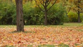 Hojas de arce del otoño sopladas almacen de video