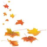 Hojas de arce del otoño aisladas en blanco Fotografía de archivo libre de regalías