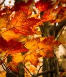 Hojas de arce en bosque del otoño Imagenes de archivo