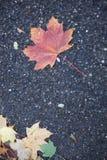 hojas de arce en el camino Imágenes de archivo libres de regalías