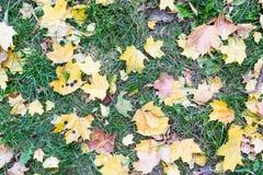 hojas de arce en hierba Fotos de archivo libres de regalías