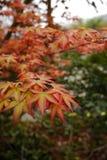 Hojas de arce en otoño Foto de archivo