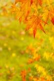 Hojas de arce en otoño en fondo verde del musgo Fotos de archivo