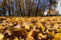Hojas de arce en parque del otoño Imagenes de archivo