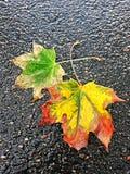 Hojas de arce en un camino mojado en día del otoño fotografía de archivo