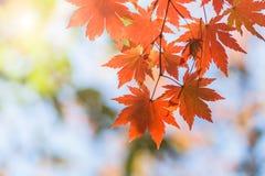 Hojas de arce, fondos abstractos del otoño [foco suave] Imagen de archivo libre de regalías