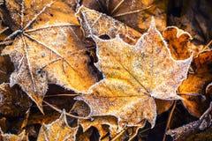 Hojas de arce frías del hielo de la mañana de la helada congelada del otoño Imagen de archivo libre de regalías