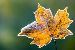 Hojas de arce frías del hielo de la mañana de la helada congelada del otoño Foto de archivo