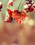 Hojas de arce frías del hielo de la mañana de la helada congelada del otoño Hojas de otoño congeladas en la rama Foto de archivo libre de regalías