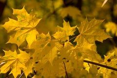 Hojas de arce hermosas amarillas en una rama foto de archivo