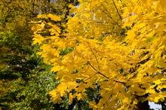 Hojas de arce hermosas amarillas en una rama fotografía de archivo