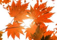 Hojas de arce hermosas de Brigbig a través de las cuales pasa la luz del sol pinturas hermosas del otoño Fotos de archivo