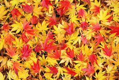 Hojas de arce japonesas caidas coloridas y mojadas en otoño Foto de archivo