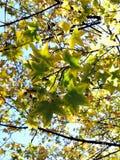 Hojas de arce de la penetración de la luz del sol del otoño fotos de archivo