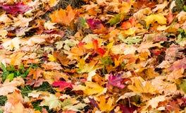 Hojas de arce multicoloras que mienten en la hierba Imagen de archivo