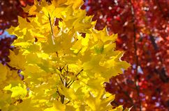 Hojas de arce de oro que exhiben la elegancia del otoño fotos de archivo libres de regalías