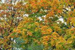 Hojas de arce que cambian colores en octubre imagen de archivo