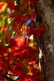 Hojas de arce rojas Foto de archivo