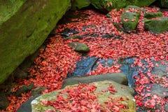 Hojas de arce rojas. Imagenes de archivo
