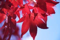 Hojas de arce rojas Fotografía de archivo libre de regalías