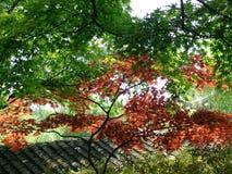 Hojas de arce rojas Foto de archivo libre de regalías
