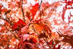 Hojas de arce rojas de Canadá en otoño Fotos de archivo