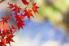 Hojas de arce rojas en el árbol de arce en el otoño Fotografía de archivo libre de regalías