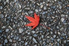 Hojas de arce rojas en la tierra de la piedra del adoquín en caída Fotos de archivo