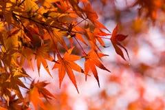 Hojas de arce rojas en otoño Imagen de archivo libre de regalías