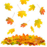 Hojas de arce rojas y amarillas Caída del otoño Imagen de archivo