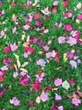 Hojas de arce rojas y púrpuras en hierba verde Imagen de archivo libre de regalías