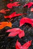 Hojas de arce rojo Imagen de archivo libre de regalías