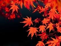 Hojas de arce rojo en otoño Foto de archivo libre de regalías