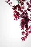 Hojas de arce rojo oscuro en el cielo como fondo Imágenes de archivo libres de regalías