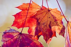 Hojas de arce rojo secas en otoño imagen de archivo