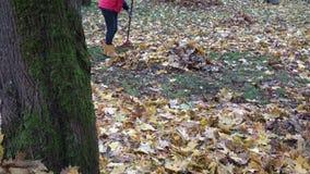 Hojas de arce secas del rastrillo del jardinero en tiempo del otoño del parque Inclinación para arriba 4K metrajes