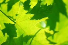 Hojas de arce verdes foto de archivo libre de regalías