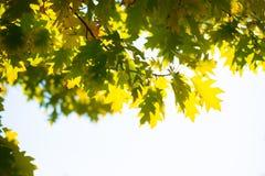 Hojas de arce verdes Fotografía de archivo