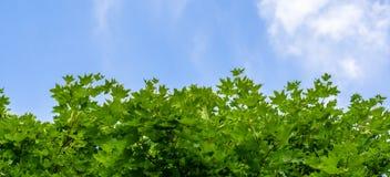 Hojas de arce verdes en fondo del cielo azul Imagen de archivo libre de regalías