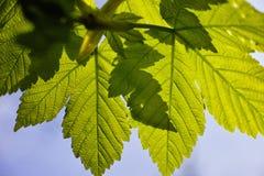 Hojas de arce verdes en la primavera Foto de archivo libre de regalías