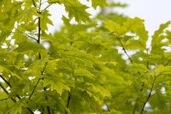 Hojas de arce verdes en luz del sol de la primavera Fotografía de archivo libre de regalías