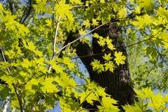 Hojas de arce verdes Follaje joven contra la primavera o el verano azul Fotos de archivo libres de regalías