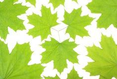 Hojas de arce verdes frescas en un fondo blanco Imágenes de archivo libres de regalías