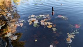 Hojas de arce vibrantes de oro coloridas de la temporada de otoño del otoño que flotan en el agua en Massachusetts, Nueva Inglate foto de archivo