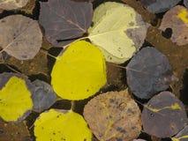 Hojas de Aspen en el agua imágenes de archivo libres de regalías