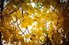 Hojas de Aspen en el sol imágenes de archivo libres de regalías