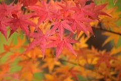 Hojas de Autumn Maple del japonés del fondo Imagen de archivo libre de regalías