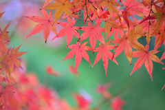 Hojas de Autumn Maple del japonés del fondo Foto de archivo libre de regalías