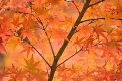 Hojas de Autumn Maple del japonés del fondo Imágenes de archivo libres de regalías